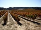 Vīnogu lauks
